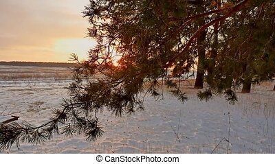 Amazing evening motion winter landscape. Christmas tree beautiful sunset winter forest snow sun a glare