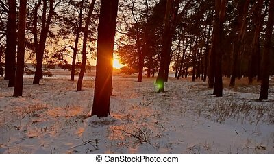 Amazing evening motion winter landscape. Christmas tree beautiful winter forest snow sun a sunset glare