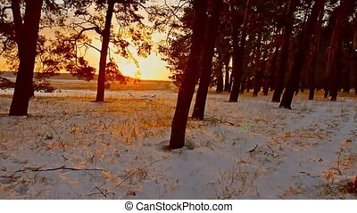 Amazing evening motion winter landscape. Christmas tree beautiful winter forest snow sunset sun glare