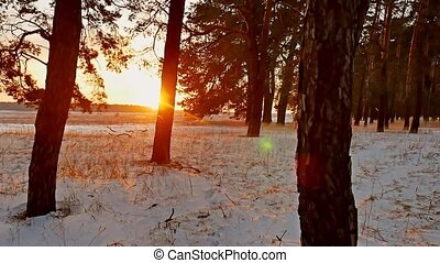 Amazing evening motion winter landscape. sunset christmas tree beautiful winter forest snow sun a glare