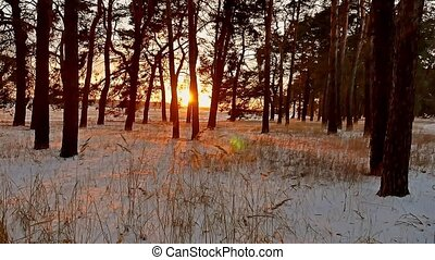 Amazing evening motion winter sunset landscape. christmas tree beautiful winter forest snow sun a glare