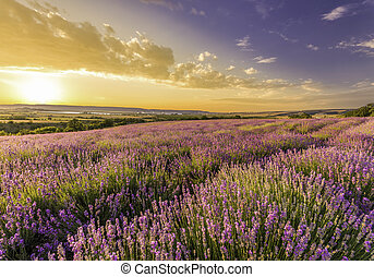 amazing field of lavender in the mountains at sunset
