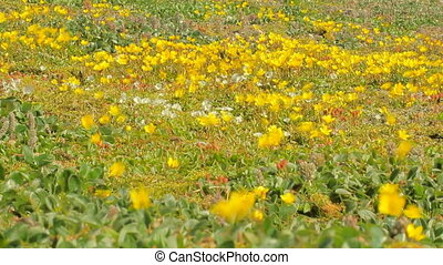 Amazing flowers of bright colors, quick trembling in strong wind. Arctic tundra