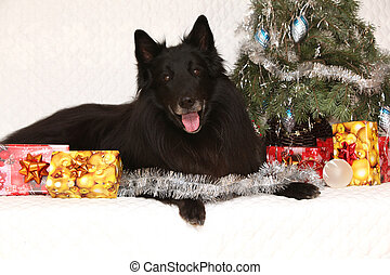 Amazing groenendeal dog with christmas decorations - Amazing...