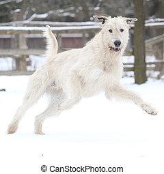 Amazing Irish Wolfhound running in winter