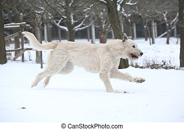 Amazing Irish Wolfhound running in winter