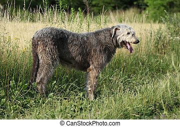 Amazing irish wolfhound standing alone - Amazing irish...