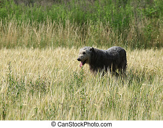 Amazing irish wolfhound standing in nature