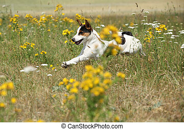 Amazing Jack Russell terrier running and jumping through...