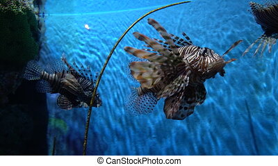 Amazing lionfish floating in the clean water at blue background, close-up