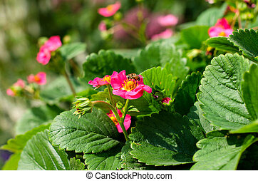 Pink strawberry blossom fresh strawberry pink blossom in the garden amazing pink flowers strawberry mightylinksfo