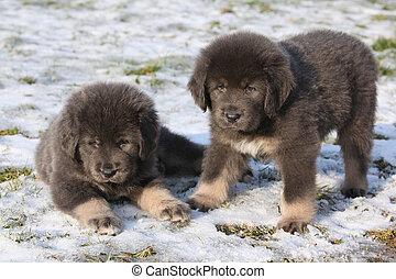 Two cute tibetan mastiff puppies sitting on ground