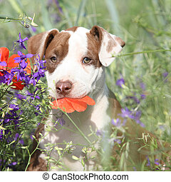 Amazing puppy of American Pit Bull Terrier in flowers -...