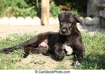 Amazing puppy of irish wolfhound