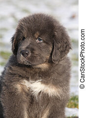 Amazing puppy of Tibetan mastiff sitting in winter