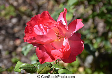 Amazing Red Rose Flowering in a Rose Garden