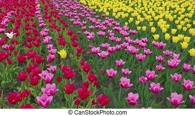 Amazing red, yellow and orange tulips blooming at beautiful...