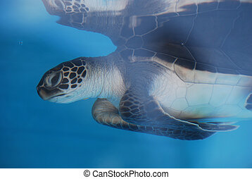 Amazing Sea Turtle Reflected in the Water
