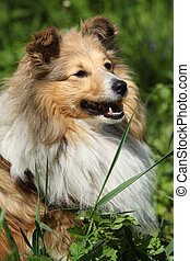 Amazing sheltie in the garden