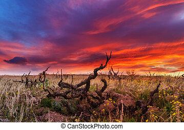 vineyard - Amazing sunrise on old vineyard