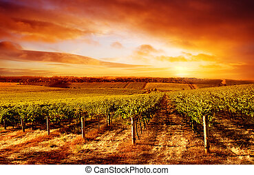 Amazing Vineyard Sunset