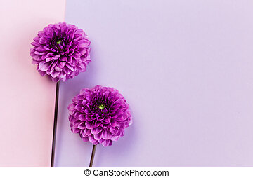 Amazing violet Dahlia flowers on a pink and violet pastel background.