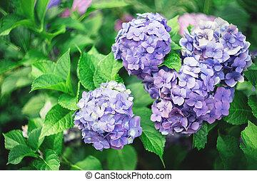 Amazing violet Hydrangea flowers in a summer garden.