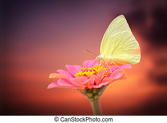amazing white butterfly on pink zinnia flower with sky background. The scientific name is Pieris rapae and the fly & flower is isolated with clipping path