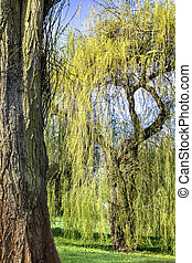 Amazing willow tree by the pond in the park
