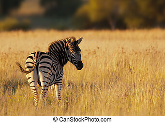 Amazing Zebra at sunset in the African savannah