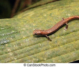 Amazon Climbing Salamander (Bolitog - Walking across a leaf....