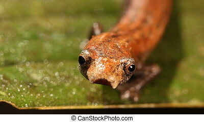 Amazon Climbing Salamander (Bolitog - Walking along a leaf....