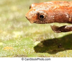 Amazon Climbing Salamander (Bolitog - Walks through frame....
