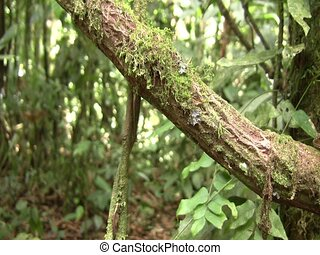Amazon forest dragon (Enyalioides laticeps) - Pan to lizard...