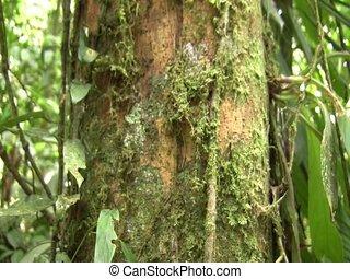 Amazon forest dragon (Enyalioides laticeps) - Tilt down to...