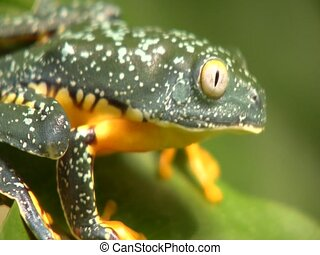 Amazon leaf frog (Cruziohyla craspedopus) - Jumps off a leaf...
