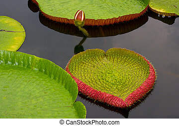 Amazon lily floating on water