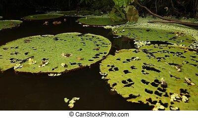 Amazon Lily, Peru