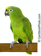 Large Yellow-crowned Amazon Parrot sitting on a wooden plank. Isolated on white background