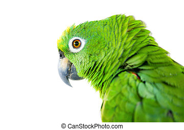 Portrait of a large Yellow-crowned Amazon Parrot. Isolated on white background