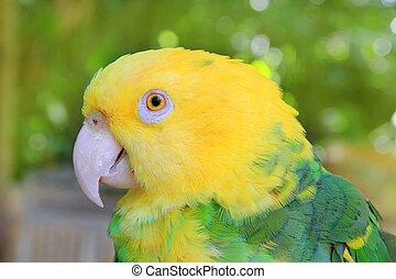 Amazon Parrot Yellow headed Oratrix