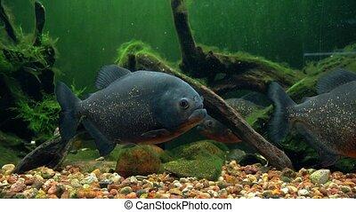Amazon predatory piranha fish among the seaweed.