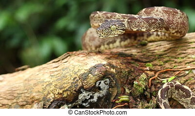 Amazon Tree Boa Corallus hortulanus - On a branch in the...