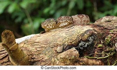 Amazon Tree Boa Corallus hortulanus - On a branch in the...
