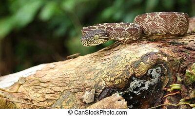 Amazon Tree Boa Corallus hortulanus
