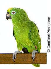 amazone, perroquet