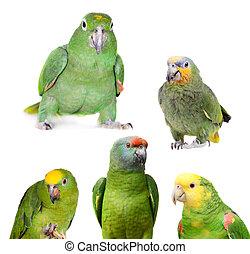 amazone, set, papegaaien, vrijstaand, witte