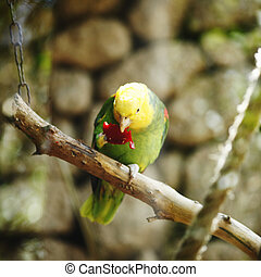 amazone, yellow-naped, perroquet