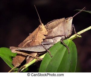 Amazonian grasshoppers mating - In the rainforest understory...