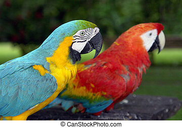 Amazonian parrots couple in freedom